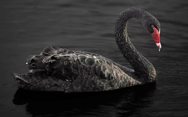 Суть теории черного лебедя