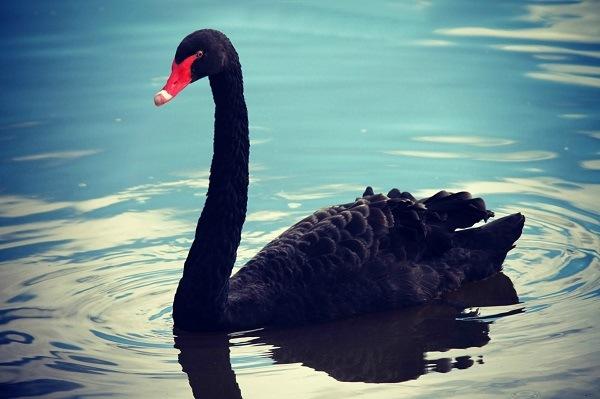 теория черного лебедя